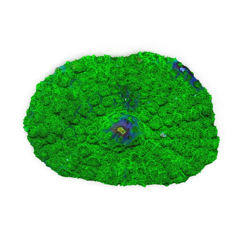 rhodactis coral 3d 3ds