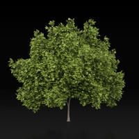 3d maple tree