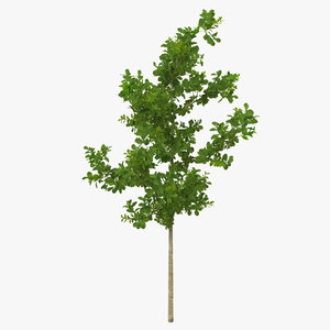 young white oak summer 3d model
