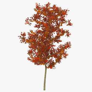 3d young white oak autumn model