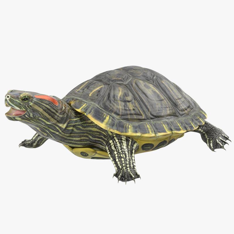 pond slider turtle rigged 3d model