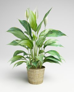3d model flowering spathiphyllum