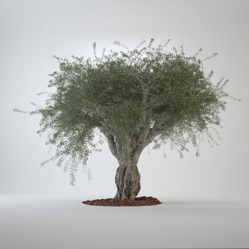 3d model of big olive tree