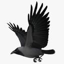 "Corvus Splendens ""House Crow"