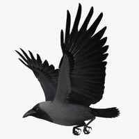 "Corvus Splendens ""House Crow"