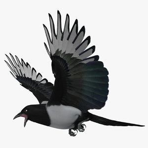 maya pica hudsonia black-billed magpie