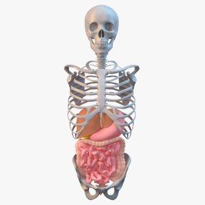 obj torso skeleton digestive