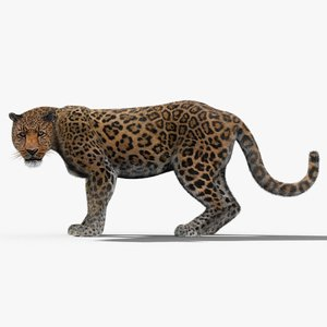 3d leopard fur cat animation model
