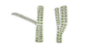 3d ulothrix genus green