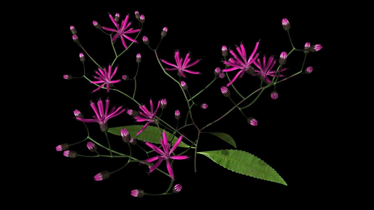 3d vernonia flowers
