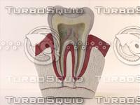 maya tooth cross section