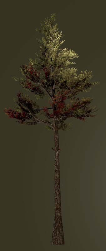 maya tree conifer