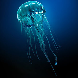 jellyfish jelly fish max