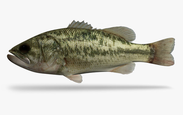 3d micropterus salmoides largemouth bass model