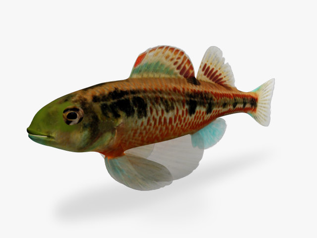 3d model etheostoma barrenense splendid darter