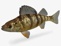 Perca flavescens Yellow Perch