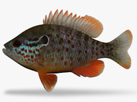 lepomis humilis sunfish 3d model