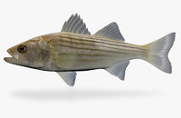 3ds max morone saxatilis striped bass