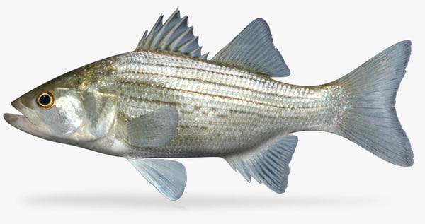 3d morone chrysops white bass model