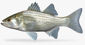 3d morone chrysops white bass model