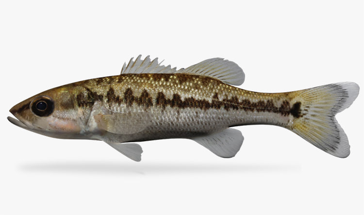 micropterus punctulatus spotted bass ma