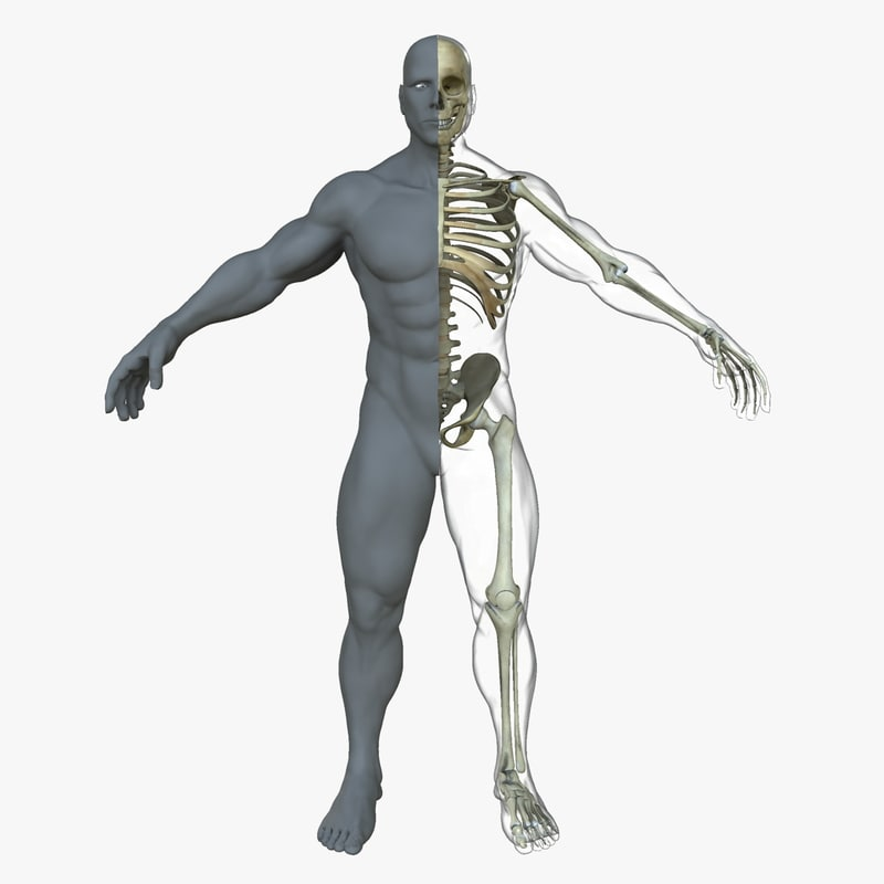 3d Male Skeleton Skin Body