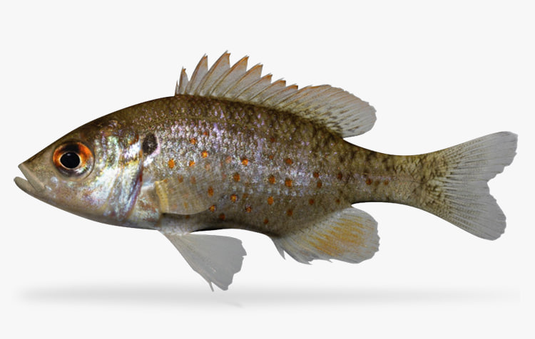 3dsmax lepomis humilis orangespotted sunfish