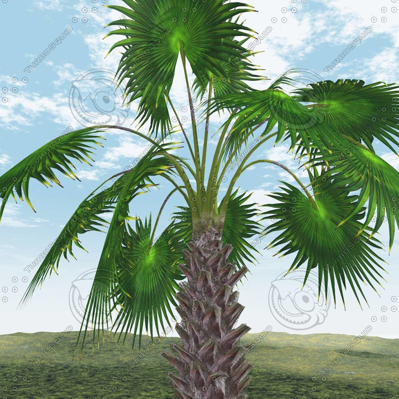 3d mexican fan palm