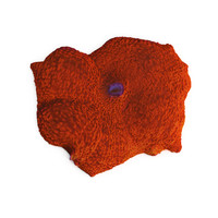orange discosoma mushroom coral 3d model