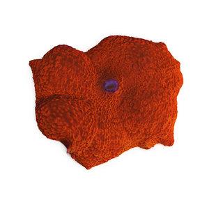 orange discosoma mushroom coral 3d model