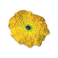 3d yellow discosoma mushroom coral