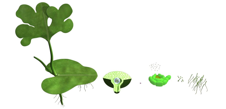 maya antheridia male