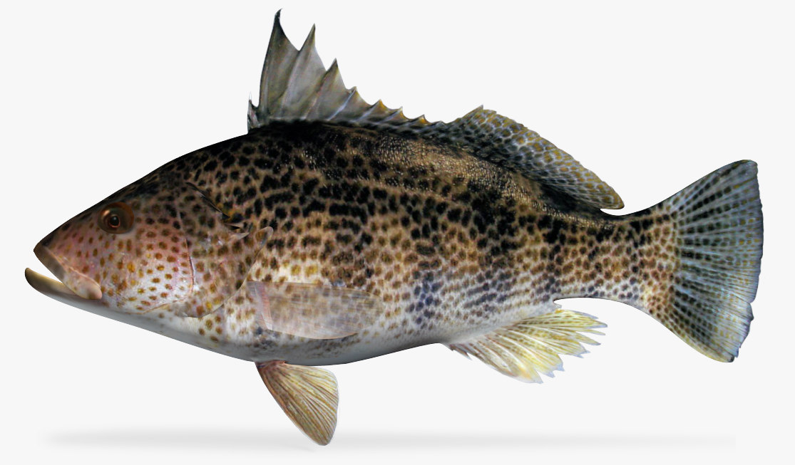 3d spotted sand bass