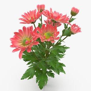 pink chrysanthemum max