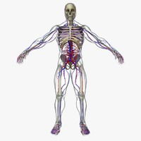 3d model circulatory skeleton veins body character