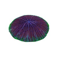 fungia plate coral 3d 3ds