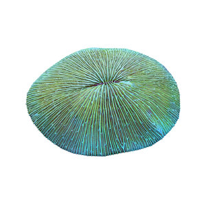 fungia plate coral 3d obj