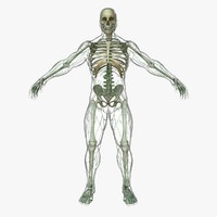 lymphatic skeleton body x