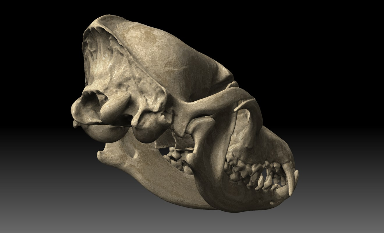 coyote canine skull c4d