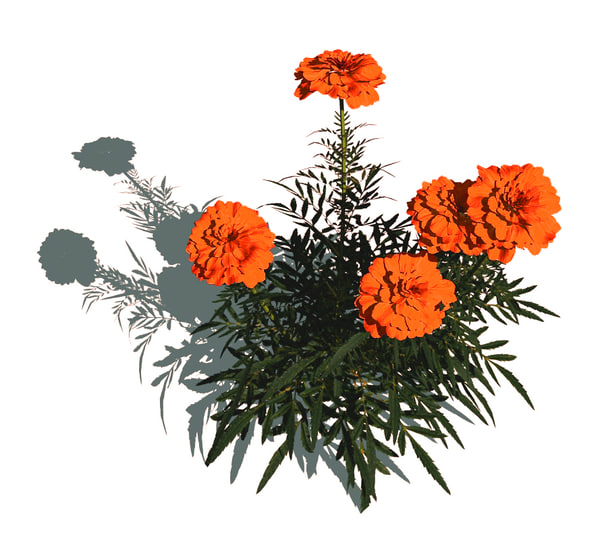 tagetes marigold flowers 3d model