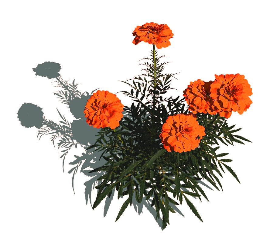 tagetes marigold flowers 3d model
