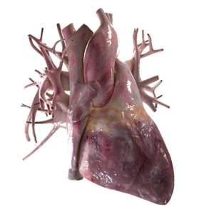 3d model human heart beating
