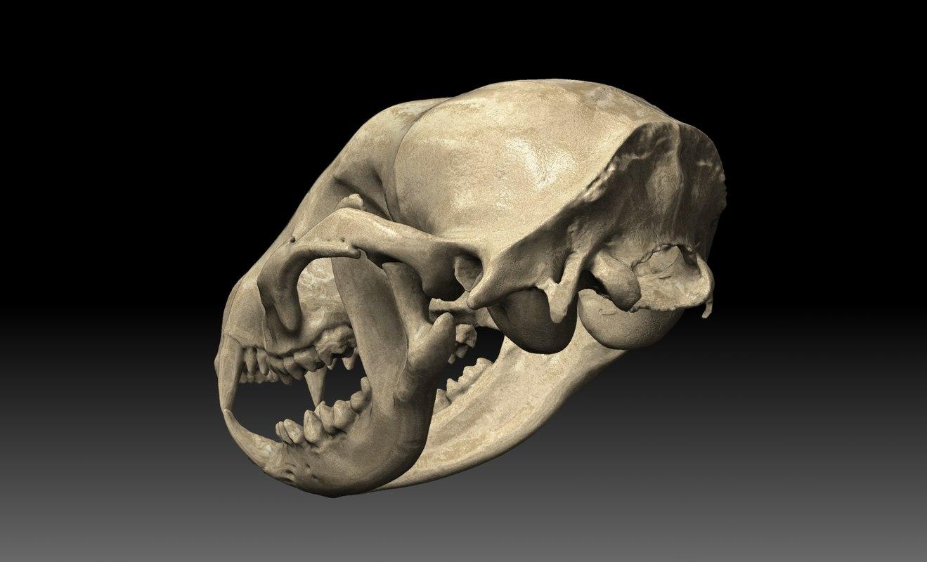 raccoon skull 3d model