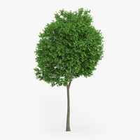 norway maple 14m 3d model