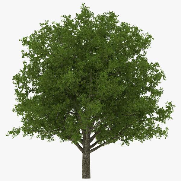 3d white oak tree summer model