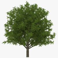 3d white oak tree summer model