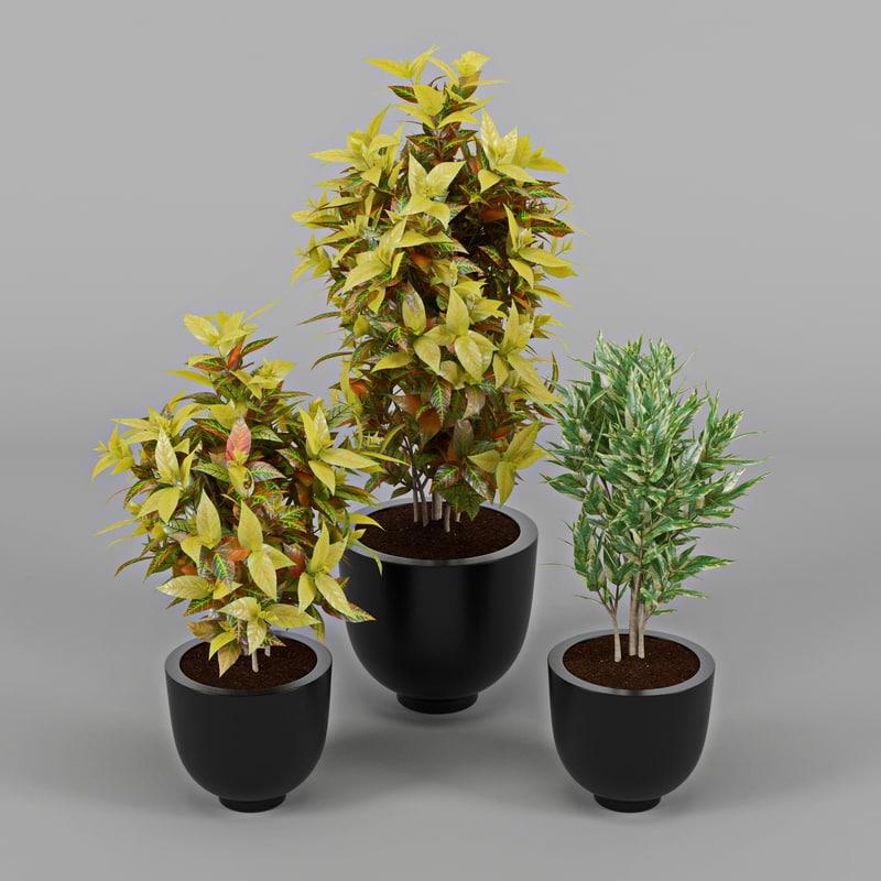 max codiaeum variegatum