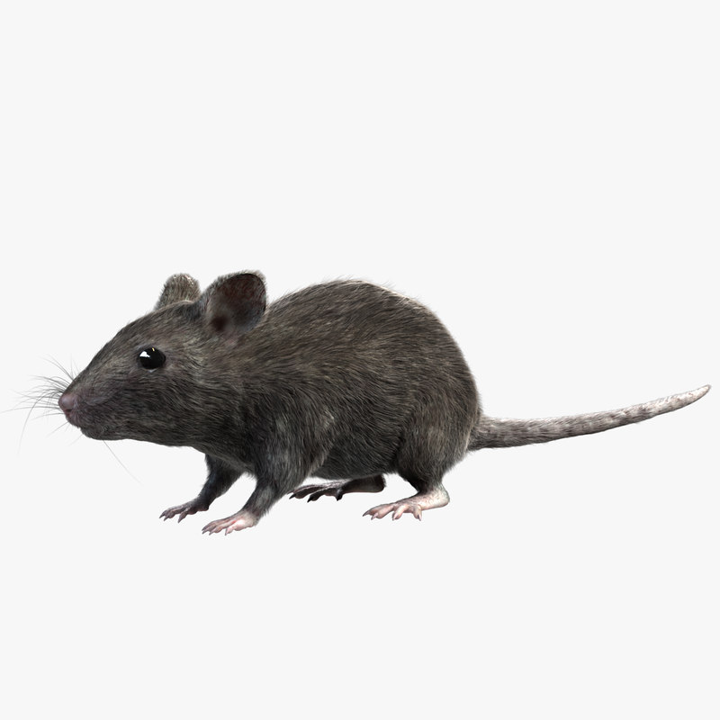Grey House Mouse