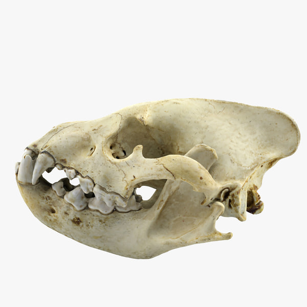 realistic hyena skull 3d 3ds