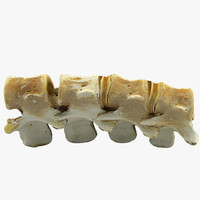 3d model realistic animal spine